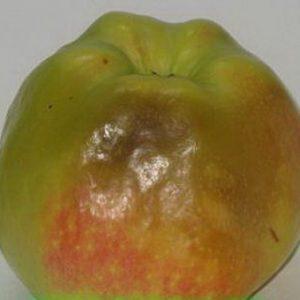 Болезнь плодовых деревьев яблони и груши сизая плесневидная гниль