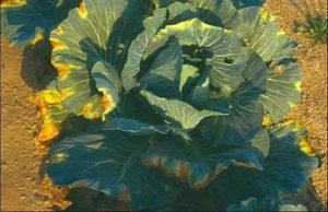 Сосудистый бактериоз капусты