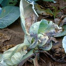Желтизна капусты (фузариозное увядание капусты)