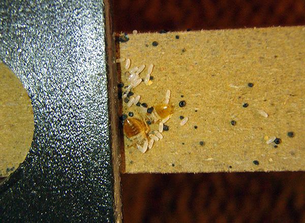 На фотографии хорошо видны яйца клопов на стенке мебели.