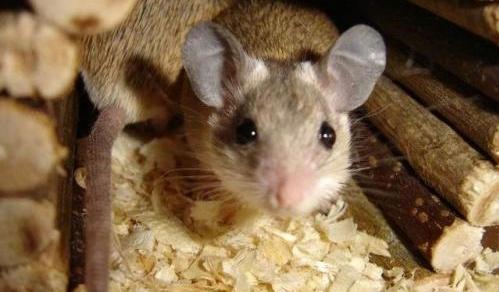 Главная примета - завелись мыши в доме, готовься к долгой борьбе с ними