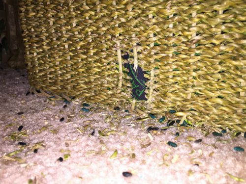 Погрызенные вещи и экскременты - первый признак появления мышей в доме