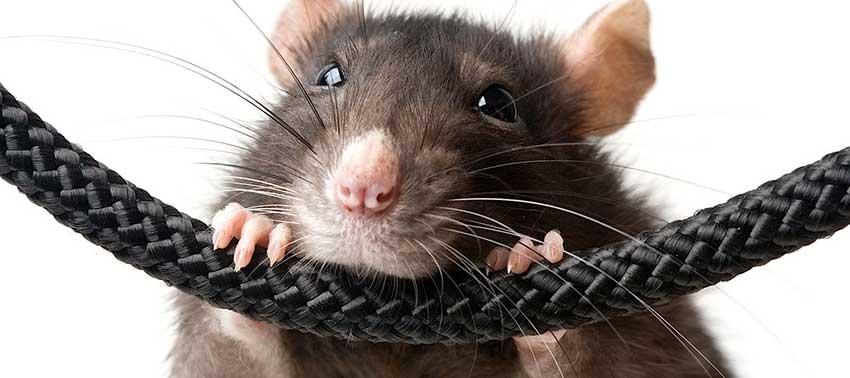 Что делать, если мыши грызут пенопласт?