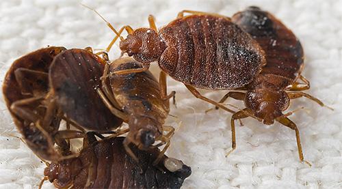 Фото постельных клопов, их укусов, на теле человека