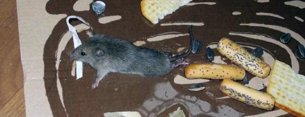 Приманить грызунов можно вкусной приманки