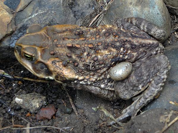 Жабы и лягушки также могут стать хозяином для лесного клеща.