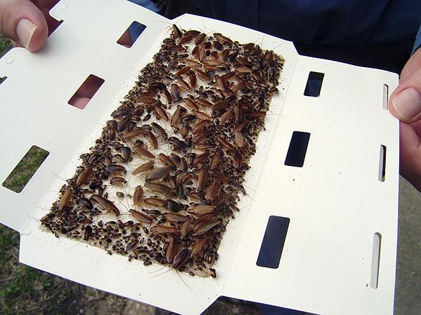 Как вы видите, клеевые ловушки бывают иногда весьма эффективным средством истребления тараканов в доме.
