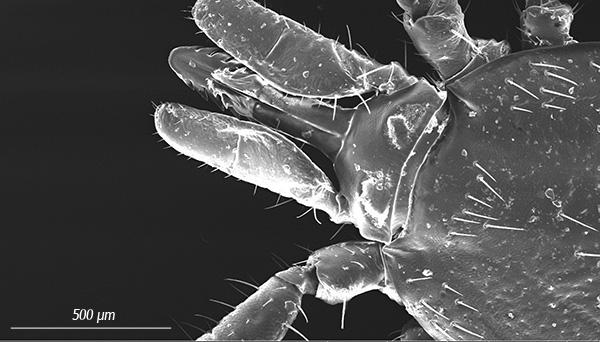 Хорошо виден зазубренный хоботок (гипостом), который паразит вводит в тело жертвы при укусе.