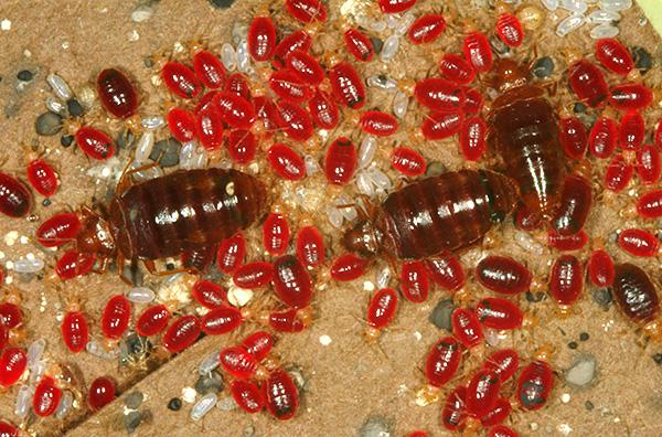 На фото показаны клопы, напившиеся крови.