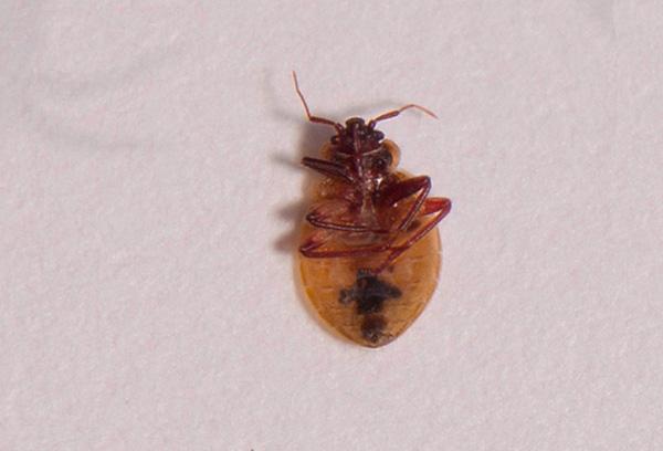 Зета-циперметрин вызывает у клопов паралич, после чего паразит быстро погибает.