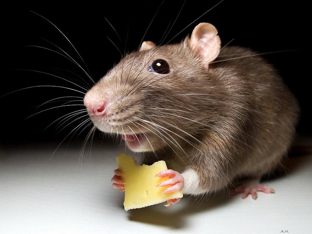 Крыса амбарная
