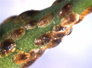 Ложнокалифорнийская (устрицевидная) щитовка
